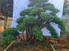 松树下山桩枝条剪后流浆怎么办 图片