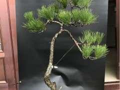 松树下山桩移栽用什么生根剂有利于生长