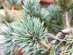 帮忙看看这是颗什么松树下山桩 图片