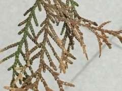 真柏下山桩的叶子怎么了 老长白点 图片