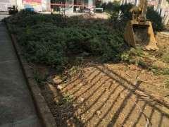 路边绿化带里一批真柏下山桩 可惜了