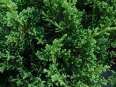 为什么盆栽真柏不如地栽下山桩长的好