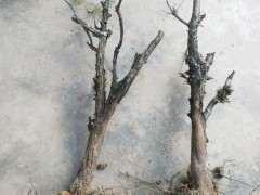 两棵真柏下山桩冒出很多小芽 图片