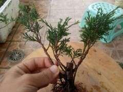 图解 扦插的真柏下山桩怎么制作丛林盆景