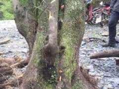 柏树下山桩用腐殖土种植可以吗 图片