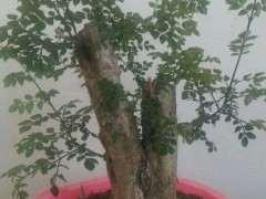 怎么在阳台养护松树下山桩的方法 图片
