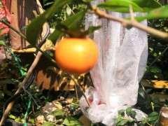 金蛋子下山桩的种子来几斤 哪里可以买