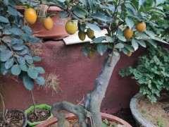 这是金蛋子下山桩 还是老鸦柿 图片