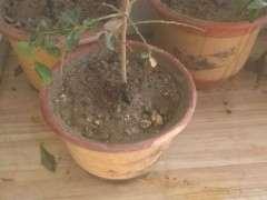 插什么土里金蛋子下山桩容易生根发芽