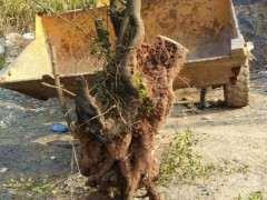 金蛋子下山桩树怎么分公母呢 图片