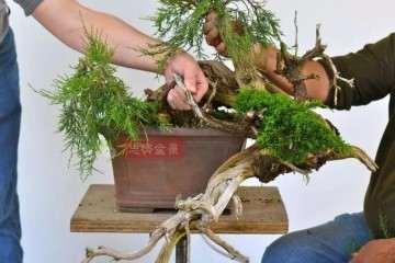 图解 柏树盆景怎么嫁接真柏的方法
