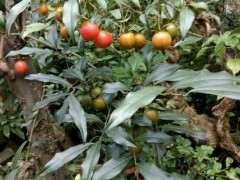 乔木金蛋子下山桩比灌木长得快吗 图片