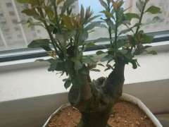 有汉中朋友认识金蛋子下山桩树的没 图片