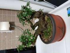 腐叶土加泥碳可以种植杜鹃下山桩吗 图片