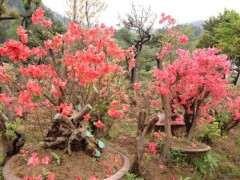 梅雨季节杜鹃下山桩花叶焦脱落怎么办 图片