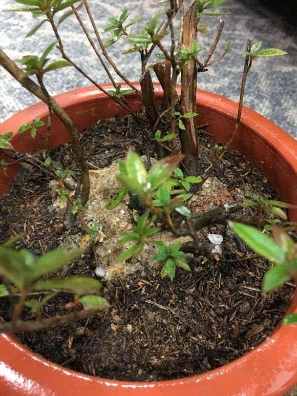 杜鹃下山桩怎么用沙栽种的方法