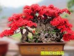 为什么最好养的杜鹃下山桩是杨梅红 图片