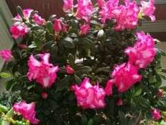 杜鹃花下山桩在北方终于结苞开花 图片