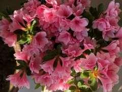 杜鹃下山桩花有四季都能开的吗 图片