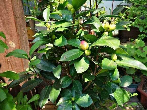 四季杜鹃下山桩茶花怎么养护的方法