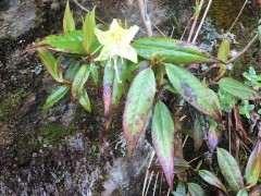 这是野生的黄杜鹃下山桩吗 图片