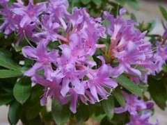 丁香杜鹃 -- 杜鹃下山桩的品种 图片