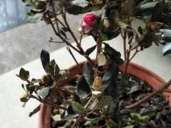 为什么杜鹃下山桩的叶子枯萎 怎么办