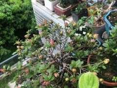 杜鹃下山桩新芽旺盛 状态良好 怎么办