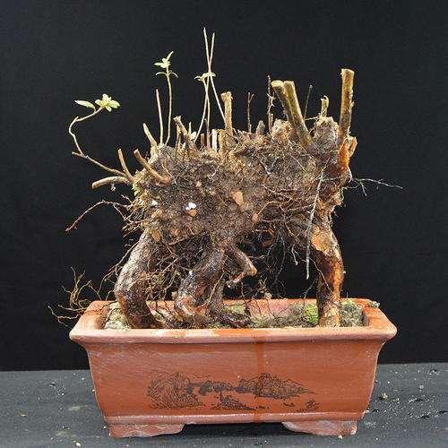 为什么杜鹃下山桩不开花 花芽也很少 图片