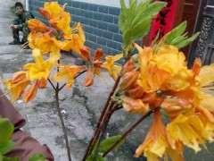 今天发现黄花杜鹃下山桩 怎么样 图片