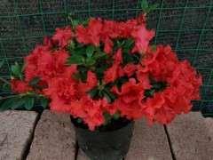 老八种——红珊瑚杜鹃下山桩花 图片