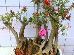为什么杜鹃下山桩比一般花卉难养 图片