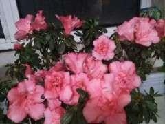 为什么我的杜鹃下山桩花越开越小 图片