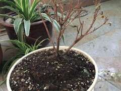 杜鹃下山桩在什么条件下洗根 修根换土