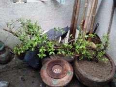 杜鹃下山桩洗根换土和修根换土能不能用