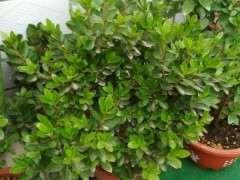 哪些杜鹃下山桩品种适合海南三亚种植