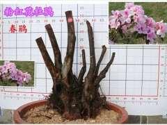 为什么杜鹃下山桩用纯腐殖土和树皮最好