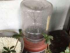 为什么杜鹃下山桩每天洒水就顺利度夏