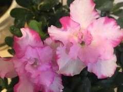 我的西玛杜鹃下山桩花越开花越小 图片