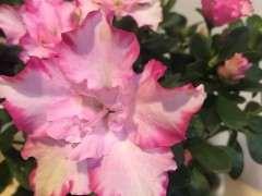 杜鹃下山桩有花苞 什么时候换盆 图片