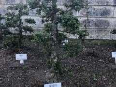 欣赏 日本鹿沼杜鹃下山桩基因保存基地