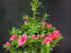 为什么春天买杜鹃下山桩花最容易活