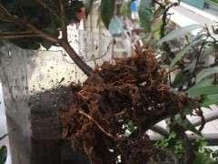杜鹃下山桩怎么洗根的3个方法 图片