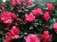 这样的杜鹃下山桩要多大的花盆最好 图片
