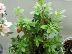 为什么湿度对杜鹃下山桩花开有很大影响