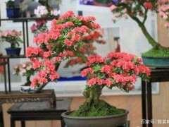 广州适合种什么品种杜鹃下山桩 图片