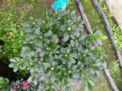 为什么小桃红杜鹃下山桩最好种活 图片
