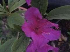 为什么杜鹃下山桩花是蓝紫色 图片