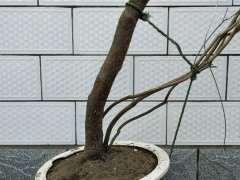 杜鹃下山桩怎么高压枝条的方法 图片