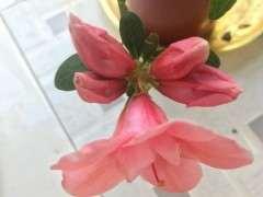 请教杜鹃下山桩都是一个花苞开2朵花吗